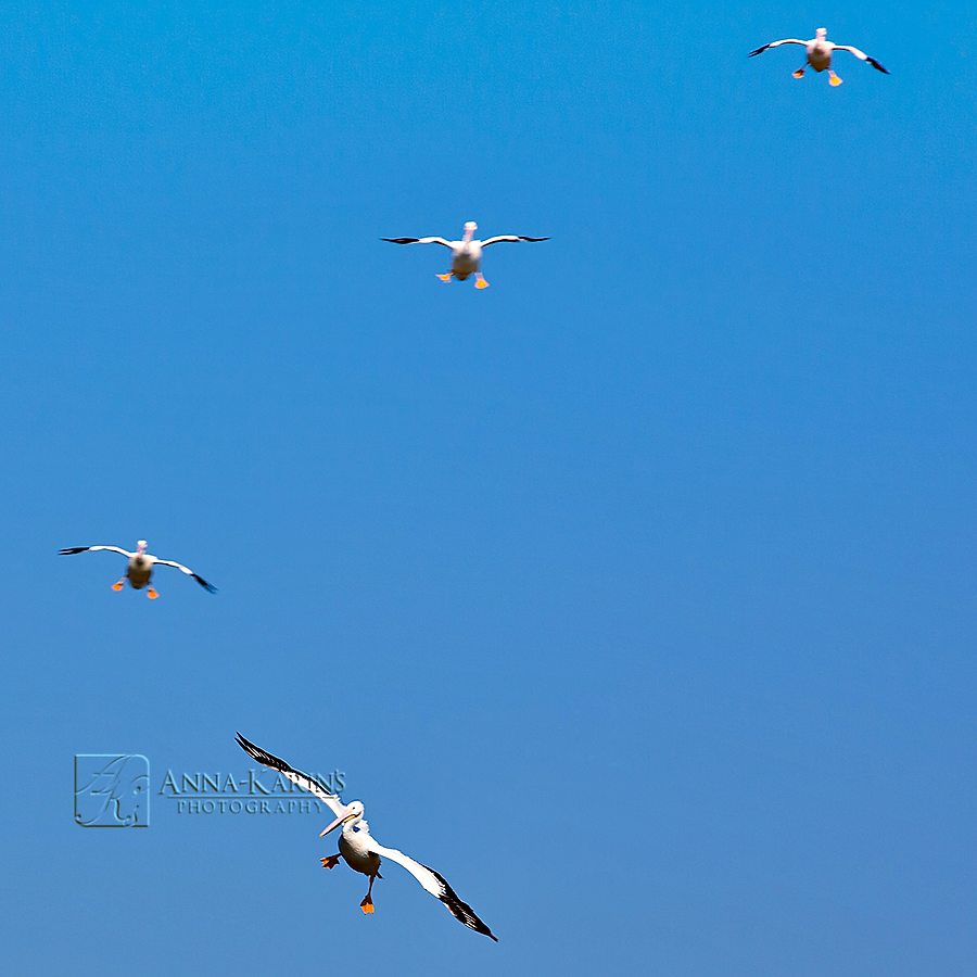 Descending Pelicans going in for landing on lsu lakes, birds flying in a pattern
