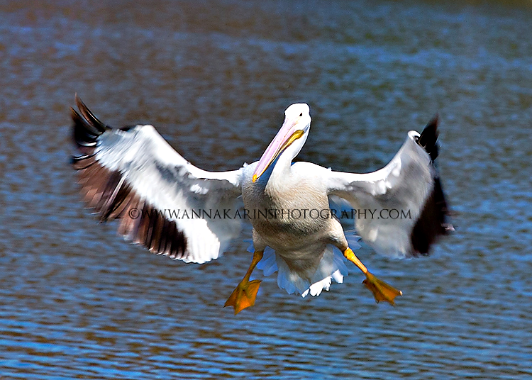Pelicans-LSU lakes, Landing pelicans-flying birds