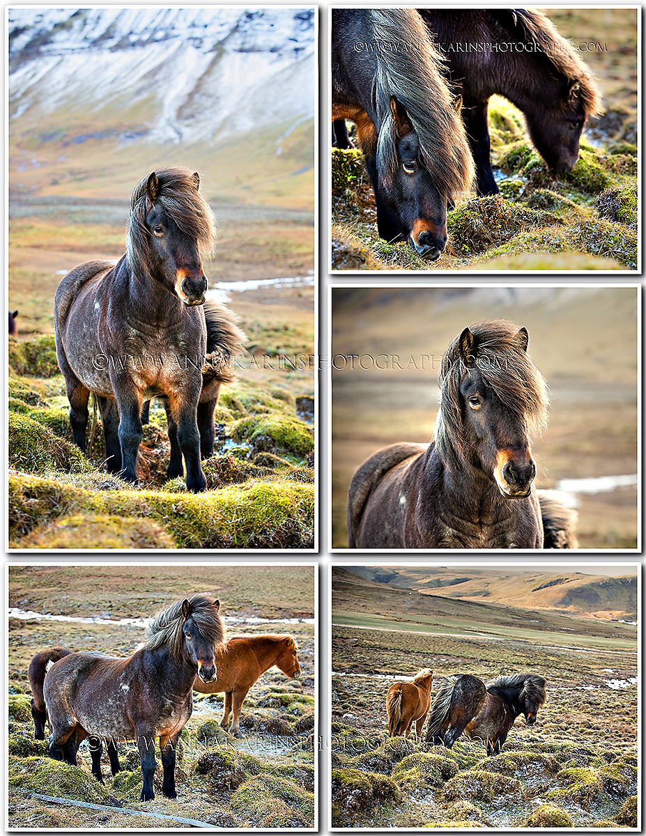 Travel in Iceland, beautiful Icelandic horses out in the wild, grazing Icelandic horses