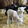Swedish newborn lambs