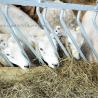 sheeps eating hay
